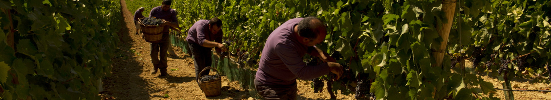 HARVEST 2020FROM TUSCANY TO SICILY IT WILL BE AN ESPECIALLY MEMORABLE VINTAGE